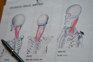 骨格筋の資料
